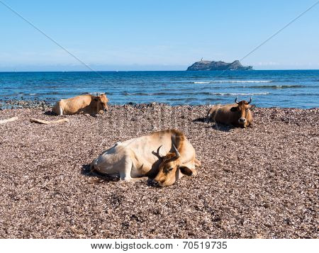 Cows sitting in the mediterranean beach of Barcaggio, in background the island of Giraglia - Cap Corse, Corsica, France, Europe.