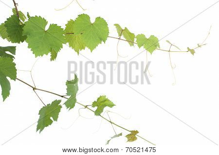 Leaves and vines of grape