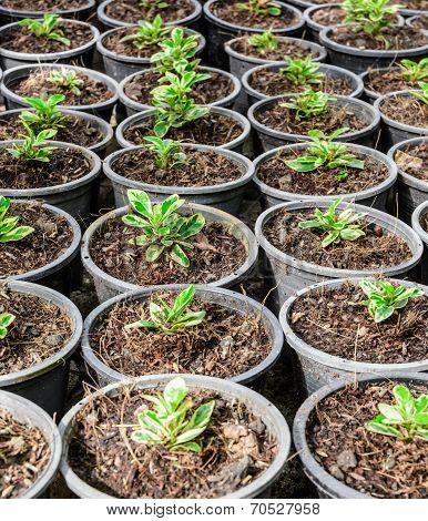 Pot Cultivation