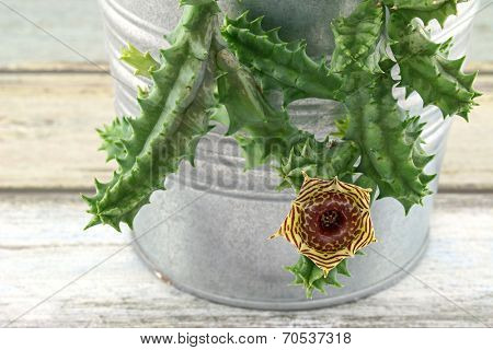 Closeup of Cactus Flower - Huernia humilis Haworth
