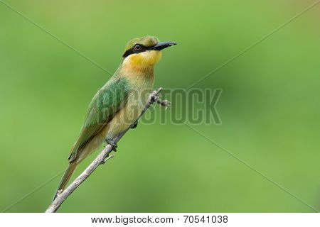 A Little-bee Eater (merops Pusillus) Perched On A Stick