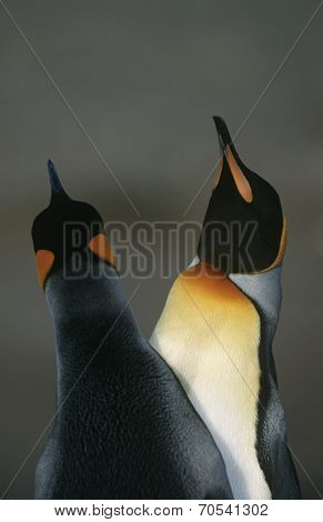 UK, South Georgia Island, two King Penguins doing mating dance, close up