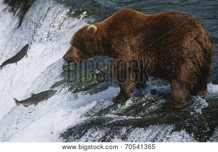 Canada, grizzly bear standing in river looking at salmon