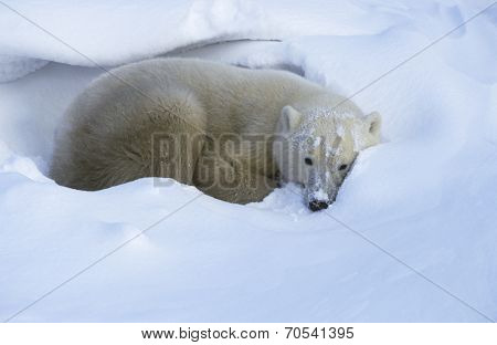 Canada, Churchill, Polar Bear lying in snow