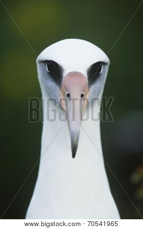 Close-up of Laysan Albatross (Phoebastria immutabilis), front view