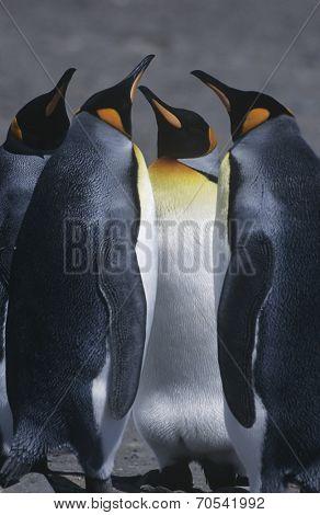 UK, South Georgia Island, three King Penguins standing on beach