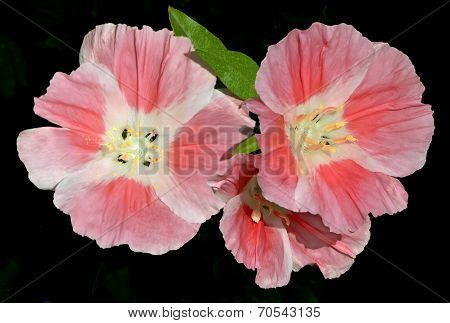Pink Godetia Clarkia Flowers Isolated On Black