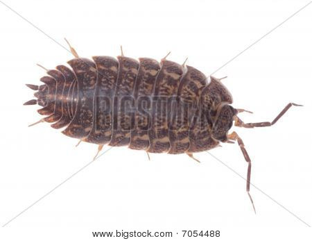 Brown Wood Louse Isolated On White Background