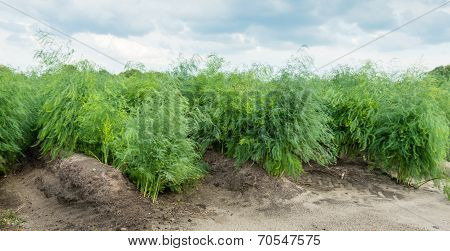 Asparagus Plants In The Field After The Harvest Season