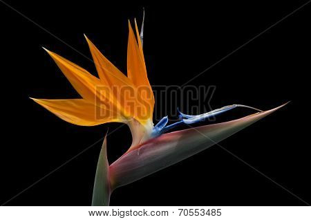 Isolated Strelitzia On Black Background
