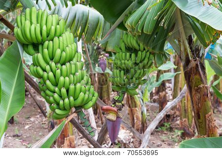 Banana Plantation At Madeira Island
