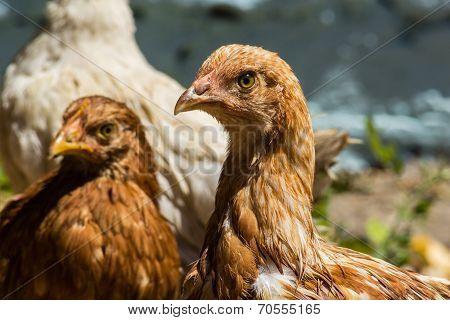 Head Brown Chicken Close Up