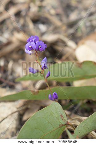 Sarsaparilla Flower Australian Native Climber Hardenbergia Violacea