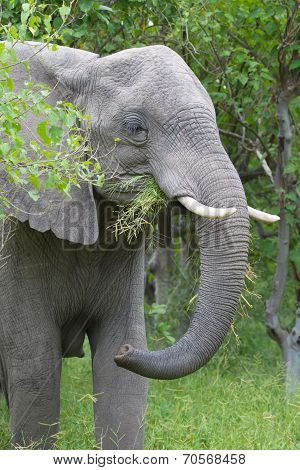 African Elephant In The Rainy Season In South Africa.