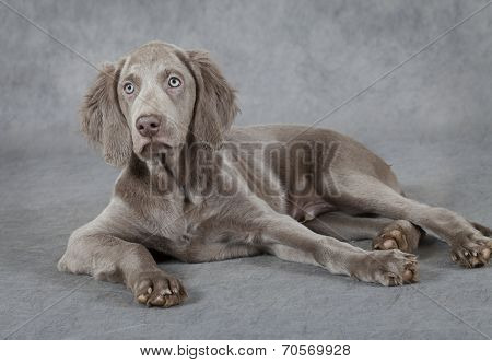 Weimaraner, Three Months Old