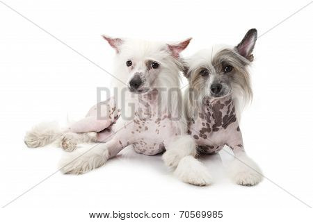 Hairless Chinese Crested Dogs