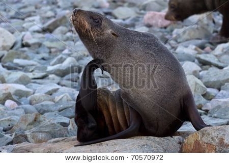 Fur Seals Sitting On The Rocks And Scratching His Head