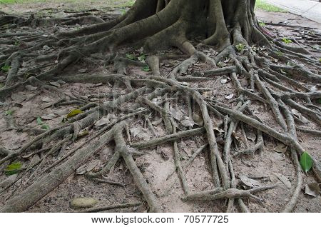 Closed Up Of Big Tree Roots