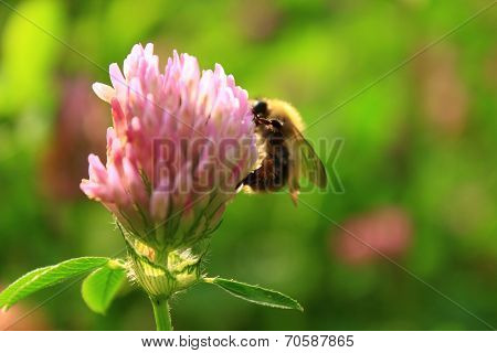 bumble bee on clover