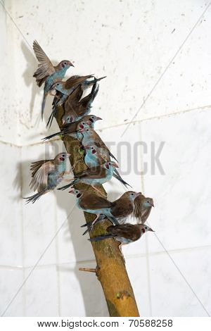 Confiscated  Red-cheeked Cordon-bleu (uraeginthus Bengalus)