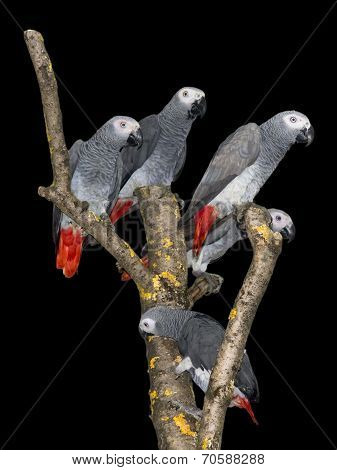 African Grey Parrot (psittacus Erithacus) Isolated