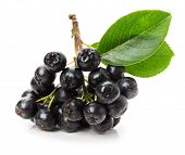 stock photo of aronia  - Branch of black chokeberry  - JPG