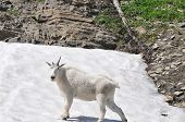 picture of goat horns  - White mountain goat with one horn cooling off on the snow - JPG