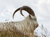 picture of billy goat  - portrait of Kashmir goat at Great Ormes Head - JPG