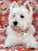 picture of west highland white terrier  - A beautiful pure breed female West Highland Terrier poses on a red pattern background - JPG