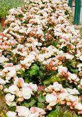 stock photo of begonias  - Begonia white flowers in winter season garden - JPG