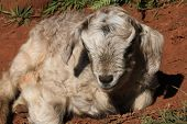 stock photo of baby goat  - Baby goat - JPG