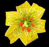 picture of asiatic lily  - Yellow Asiatic lily with Black Spots and Orange Anthers Isolated on Black - JPG