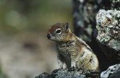 picture of chipmunks  - Chipmunk on rock - JPG