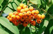 pic of rowan berry  - Red berries of rowan in the summer  - JPG