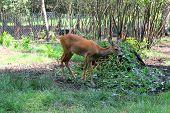 picture of roebuck  - A brown roe deer in a zoo - JPG
