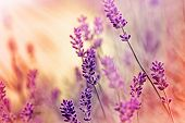 picture of lavender field  - Lavender illuminated by sunlight in my flower garden