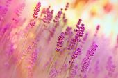 picture of vegetation  - Beautiful lavender in my  flower garden - closeup