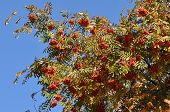 pic of mountain-ash  - The fruit of mountain ash tree in the blue sky - JPG
