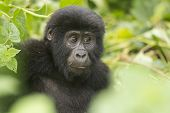 stock photo of gorilla  - Young Mountain Gorilla in the Bwindi Impenetrable Forest - JPG