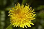 picture of angiosperms  - A blossoming Common dandelion  - JPG