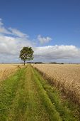 image of ash-tree  - grassy footpath with ash tree and hedgerows under a blue sky in summer - JPG