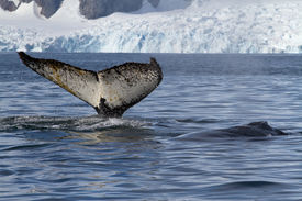stock photo of whale-tail  - tail and back of two humpback whales swimming in the background of glaciers - JPG