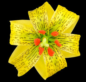 foto of asiatic lily  - Yellow Asiatic lily with Black Spots and Orange Anthers Isolated on Black - JPG