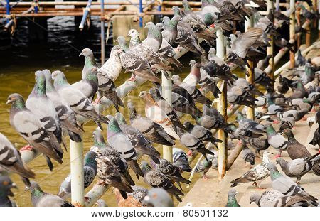 Pigeons waiting for feed from people