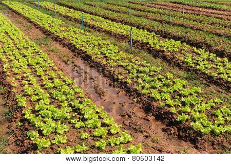 Lettuce Plant Field On Ground In Garden.