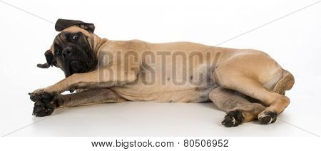 english mastiff puppy laying down on white background