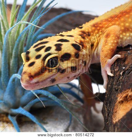 Detail leopard gecko Eublepharis macularius in terarium