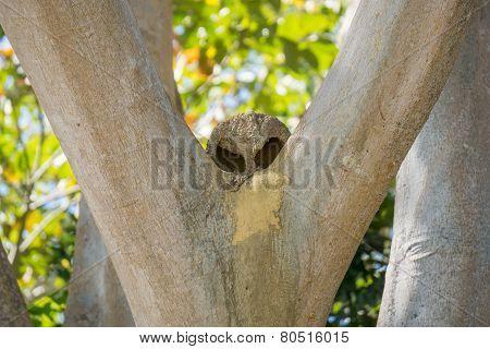 Joao de Barro nest over tree, Rufous hornero