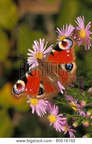 Peacock Butterfly (inachis Io)