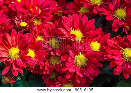 Red Chrysanthemums Flowers